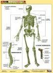 Tanulói munkalap, A4, STIEFEL Az emberi csontváz